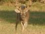 2005-2006 Deer